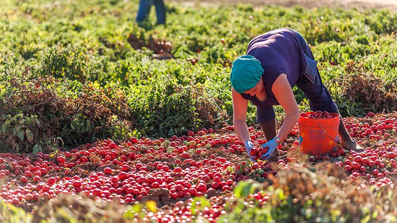 Massaia che raccoglie pomodori