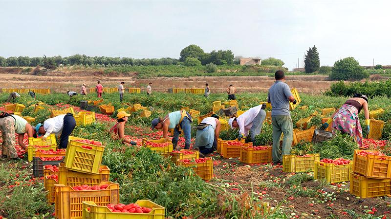 Raccolta dei pomodori