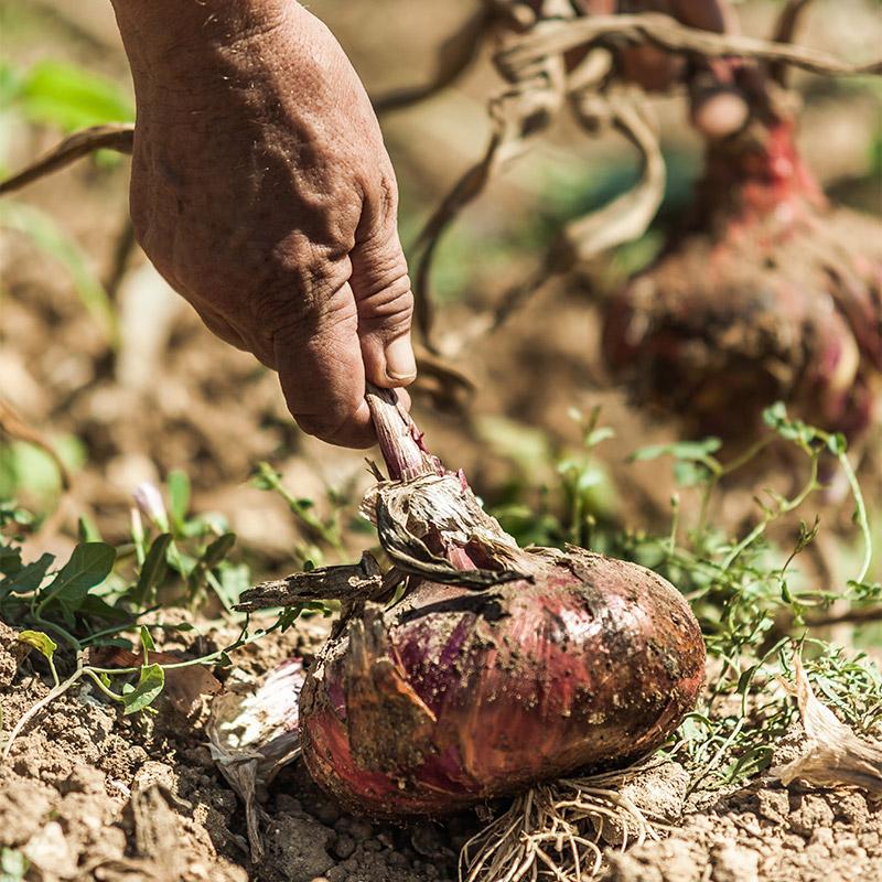 raccolta della cipolla rossa