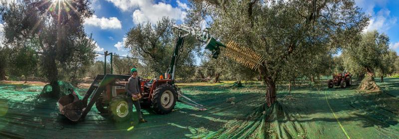 raccolta automatizzata delle olive