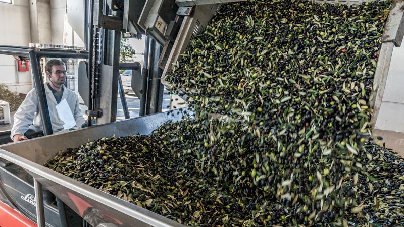 molatura delle olive